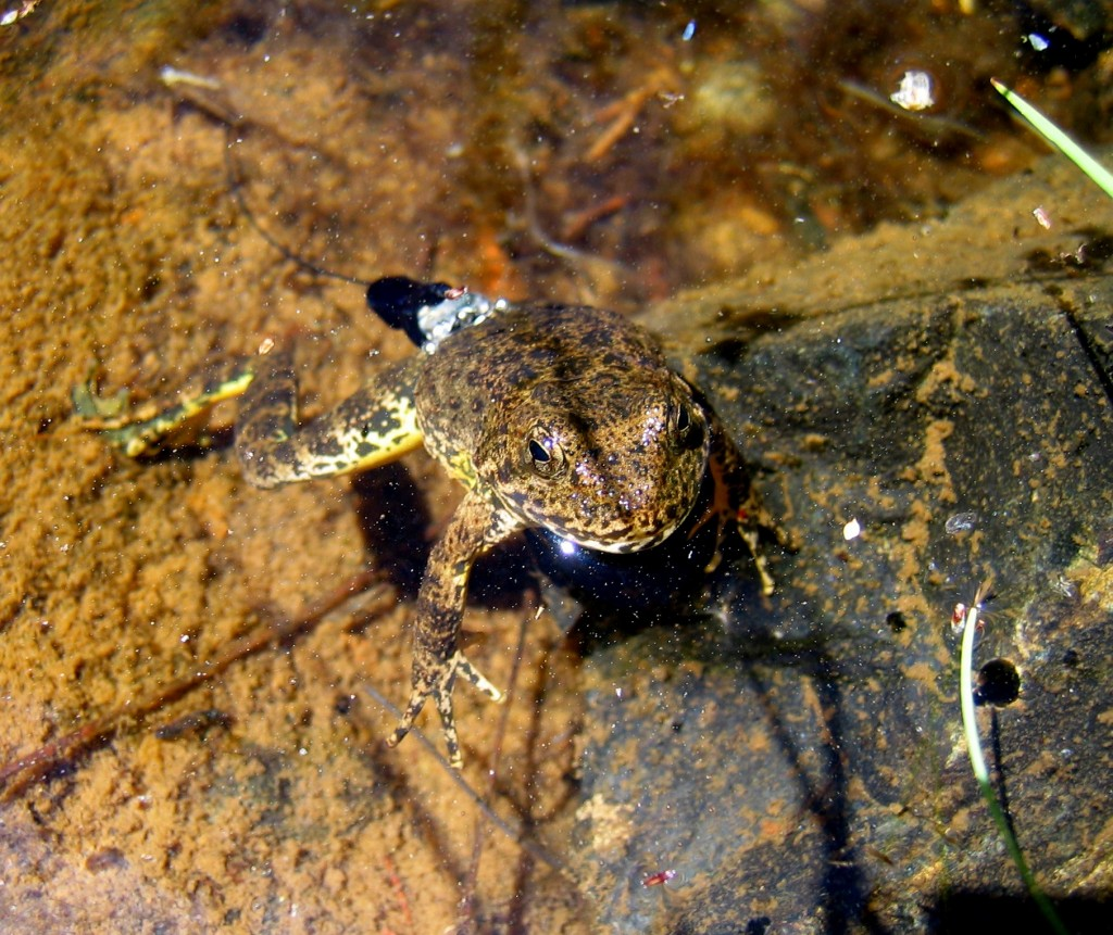 frog with a transmitter on