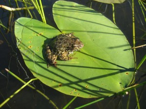 Sierra yellow-legged frog in the northern Sierras.