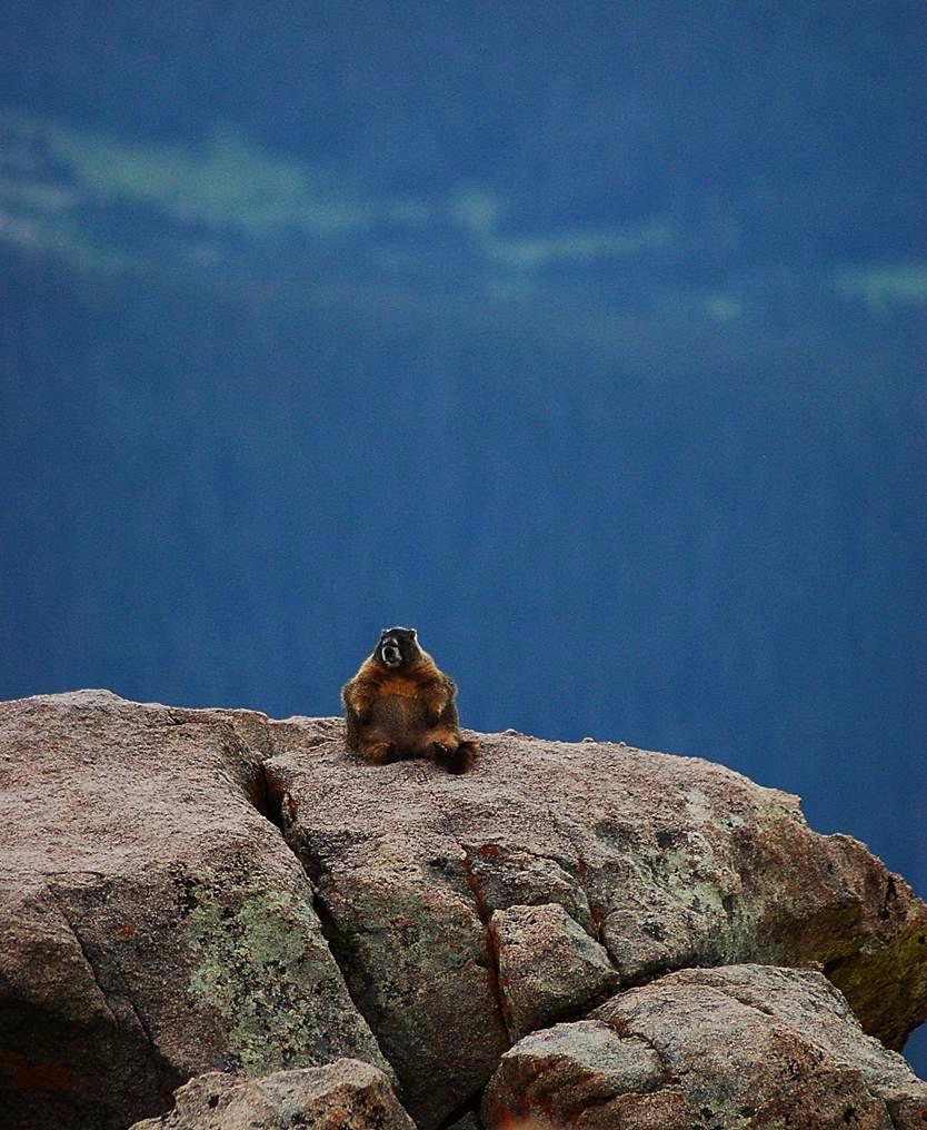 Vancouver Island Marmot Predation